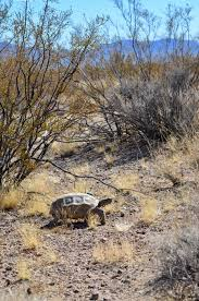 mojave desert native plants decoded genome may help mojave desert tortoise win race to survive