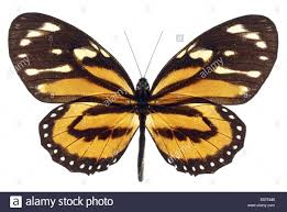 monarch butterfly with open wings on white background stock photo
