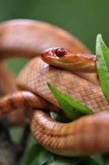 Madagascar Blind Snake Reptiles Of Madagascar Inaturalist Org