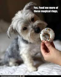 Funny Scottish Memes - i has a hotdog scottish terrier funny dog pictures dog memes