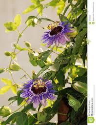 purple haze passifloras stock photo image 45566966
