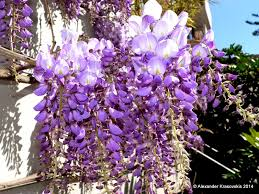 aggregata plants u0026 gardens wisteria is a spectacular and fast