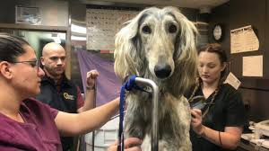 afghan hound kennel in australia dogs in recent neglect case receive much needed grooming youtube