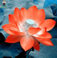 Fragrant Potted Plants - online shop 10pcs new orange lotus seeds beautiful aquatic water