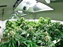 Plants That Don T Need Natural Light by Best 25 Marijuana Grow Lights Ideas On Pinterest Flowering