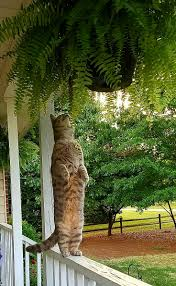 Cateracterum Palm by 4156 Best Cat I Tude Images On Pinterest Kitty Cats Animals And