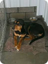 doodle for adoption indiana 12 best dogs images on indiana a and dogs for