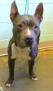 american pitbull terrier 7 months adopt claus r 1 a lovely 2 years 1 month dog available for