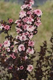 80 best physocarpus images on pinterest shrubs darts and garden