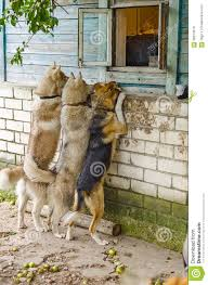dog look in a window outside the house stock photo image 56914613