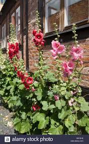 Hollyhock Flowers Hollyhock Flowers Growing Wild In The Swedish Town Of Ystad Stock