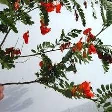 buy scarlet locust trees at best price plants