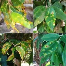 black bean aboriginal use of native plants maurizio rossetto mrossettoevoeco twitter