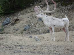 the story of the white reindeer justine gosling