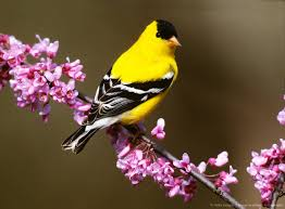 New Jersey birds images 35 best american goldfinch new jersey bird images jpg