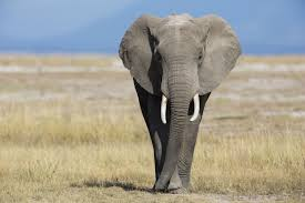 how does an elephant use its trunk