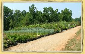 Real Topiary Trees For Sale - landscape plant nursery garden center