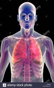 Human Anatomy Upper Body Stylized Front View Of The Upper Body Showing The Skeleton And
