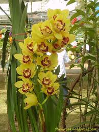 Cymbidium Orchid Cymbidium Orchids Orchid Flower Fruit Plant Tree Pictures