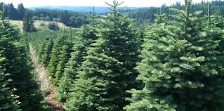 types of christmas trees and their advantages beatiful tree
