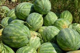 Organic Watermelons Delvin Farms