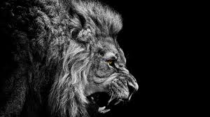 black king wallpaper black and white angry the king mountain lion wallpaper 13436