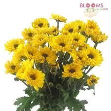 wholesale mums u0026 spider mums u2013 bloomsbythebox com