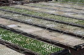 josh lexus of kelowna hawaii u0027s kō hana agricole rum cool hunting