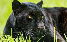 panther free download clip art free clip art on clipart library