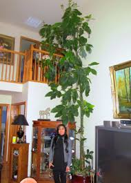 learn to grow giant indoor plants avocado tree and bird of paradise