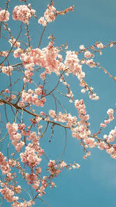 cherry blossom tree iphone 6 plus hd wallpaper ipod wallpaper hd