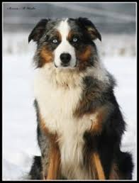 australian shepherd club qld junior exhibitors vie for westminster prize australian shepherd