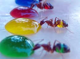 these rainbow colored transparent ants are what they eat science