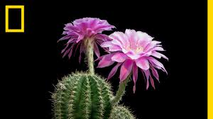 time lapse beautiful cacti bloom before your eyes short film