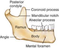 Human Jaw Bone Anatomy Mandible Definition Of Mandible By Medical Dictionary