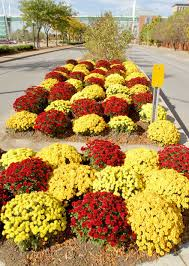 Picture Of Mums The Flowers - cover mums with mulch in fall home and garden qctimes com