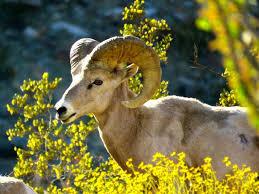 anza borrego wildflowers wild sheep wildflowers anza borrego raven and chickadee