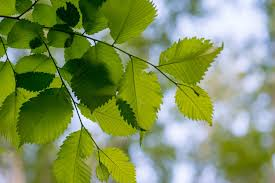 alder tree identification recognizing an alder tree in the landscape