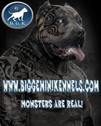 american pitbull terrier kennels usa huge bully pitbulls xxl pitbull kennels pitbull breeder