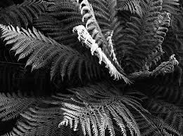 Free Picture Leaf Nature Fern Ferns Fern Silver Free Photo On Pixabay