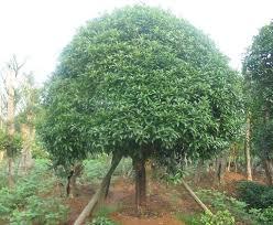 size picture of sweet olive fragrant tea olive osmanthus
