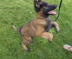 belgian sheepdog california belgian shepherd puppies in us u0026 canada public group facebook