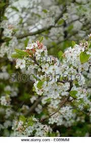 pyrus calleryana chanticleer tree blossom at rhs wisley gardens
