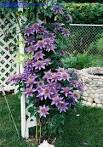 Today's bloom is Clematis 'Multi Blue' (