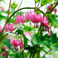 bleeding heart flower bleeding hearts planting guide easy to grow bulbs