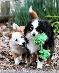 australian shepherd 6 months aussie corgi dog breed information