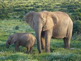 file african bush elephants jpg wikimedia commons