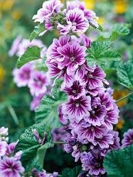 the flowers of summer at tree mallow for pretty summer blooms garden ideas