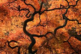 japanese maple tree photograph by asparro