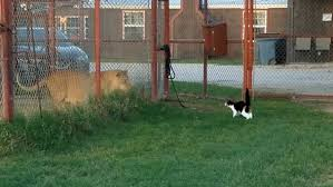 Backyard Animals Lyrics Fearless Feline Prowls Up To A Caged Lion In Texas Daily Mail Online